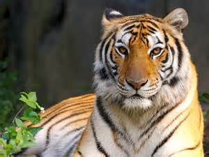 Md tiger